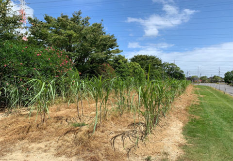 サトウキビ畑に除草剤を散布しました