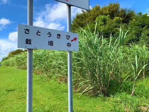 真夏のさとうきび測定!